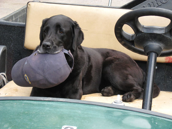 Raven works as the assistant to a superintendent of a golf course in Ontario, where she makes sure her owner always has her hard hat and helps with the record keeping.