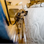 Just try to ignore the fact that this cute puggle is ... sniffing for bedbugs.