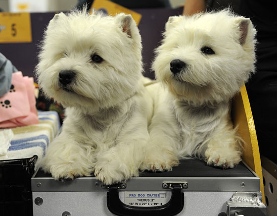 Don't you dare mistake them for East Highland Terriers, either.