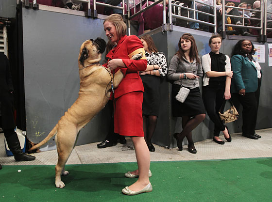 Kellye Weymouth told her bullmastiff that he wasn't as tall as her, but High Points Tailor Made insisted on proving her wrong, as he is wont to do.